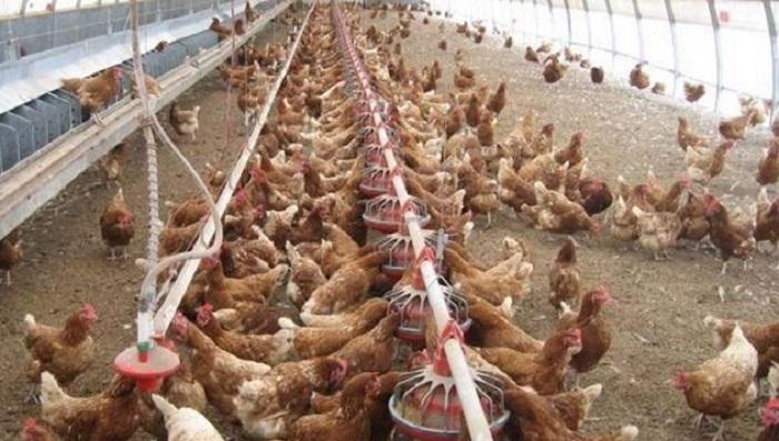 فروش دانخوری مرغداری دست دوم